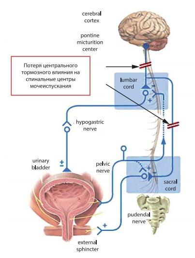 Схема иннервации мочевого пузыря с указанием уровня нарушения взаимоотношения корковых и спинальных центров мочеиспускания при шейном уровне ПСМТ