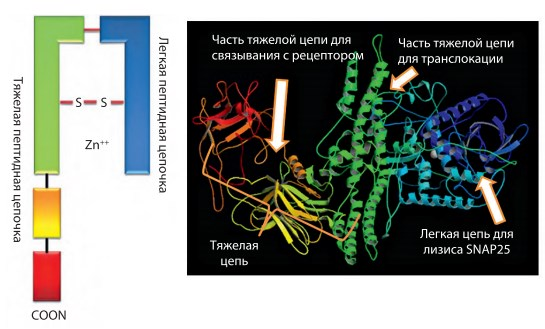 Схематическое изображение и трехмерная модель молекулярной структуры БТ